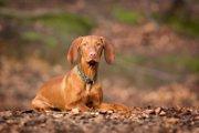 ビズラってどんな犬?特徴や性格、飼い方