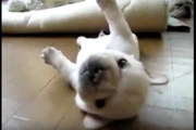 コロコロし続けるフレンチブルドッグの子犬、転がり続けるその理由とは…?(まとめ)