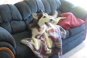 「テレビが見たいの!」飼い主さんに呼ばれても抵抗するハスキー