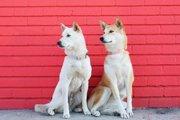 LAと柴犬のオシャレな組み合わせ!インスタで話題の柴犬2匹(まとめ)