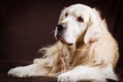 高齢者が大型犬を飼う前に考えてほしいこと【石を食べるラブラドールの事例】