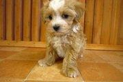 パピプーはパピヨンとトイプードルのミックス犬(まとめ)