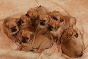米国でペットショップの犬由来の病気が流行。他人事ではない注意点。