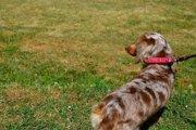 犬の椎間板ヘルニアの症状と治療法