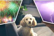 8月は犬の迷子が急増!花火や雷から愛犬を守ろう!