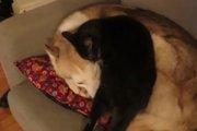 【犬猫動画】ちょっかい出しても無視を決め込むハスキー・・・猫が取った最終手段が面白すぎるw(まとめ)