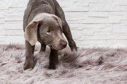 愛犬がオムツを嫌がる心理と慣れさせる方法