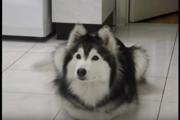 猫に育てられたハスキー犬、その行動が猫っぽくてかわいい!(まとめ)