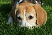 犬が飼い主に不満を感じているときの4つの行動