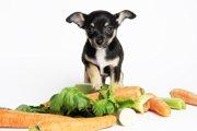 チワワの餌の基礎知識と選び方