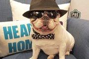 世界一有名なフレンチブルドッグ!?アメリカのセレブ犬「マニー」(まとめ)