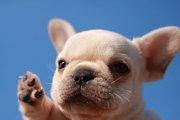 フレンチブルドッグ画像まとめ!子犬期の写真や面白ポーズで癒されよう♡