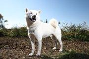 アイヌ犬ってどんな犬?SBのCM「お父さん犬」でおなじみの犬種を徹底解説!(まとめ)