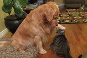 猫の頭を優しくポンポンするゴールデンレトリバーのイケメン対応にキュンキュン♡