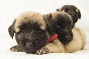 イギリス原産の犬種達が絶滅の危機!驚きの原因とは?