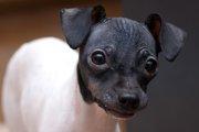 とっても魅力的!希少犬種「日本テリア」って?