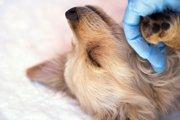 愛犬がある日突然「膵炎」に…実際にあった急性膵炎と慢性膵炎とは