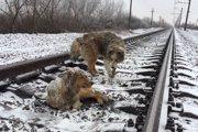 【感動!】線路上で怪我をした仲間を2日間守り続けた犬
