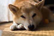 老犬になると耳が遠くなる?難聴の症状とその聴こえ方