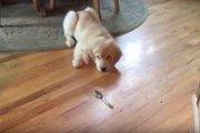 「こいつは何だ!?」初めてのスプーンにビビるゴールデンレトリーバーの子犬