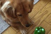 犬にピーマンを与えて免疫力アップ!抗がん作用のある優秀野菜
