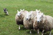 【頭良い!】羊を操る牧羊犬は2つのアルゴリズムを巧みに使っていることが判明