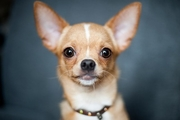 チワワの耳は立っている方がいいの?それが普通?