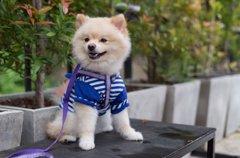 犬に服を慣れさせる…