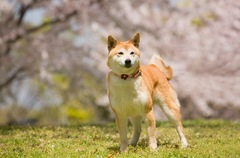 犬が桜を食べるのは…