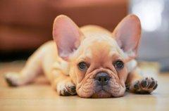 人気の鼻ぺちゃ犬種…