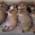 柴犬のかわいすぎる姿に癒されまくり!世界中で愛される日本犬