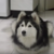 猫に育てられたハスキー犬、その行動が猫っぽくてかわいい!(まとめ動画)