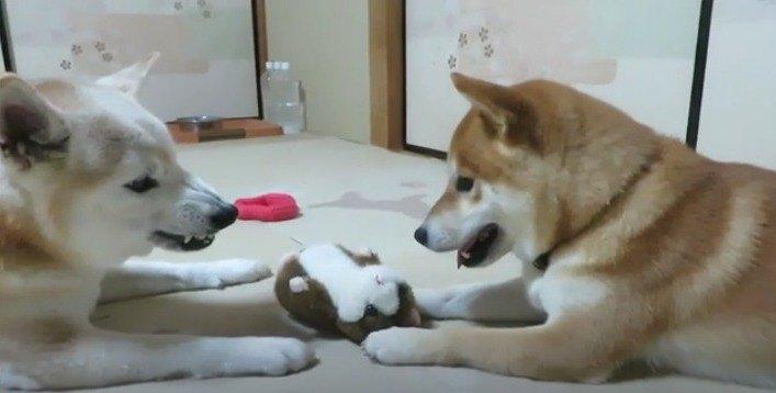 声マネぬいぐるみに真似され続ける柴犬さんがとってもキュート♡