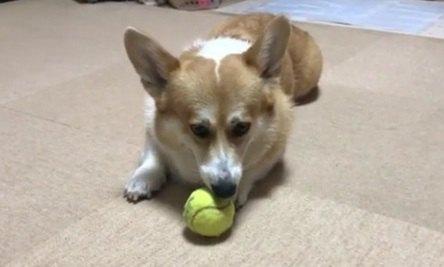 飼い主とのボール遊びを切り上げて一人で遊びだすコーギー