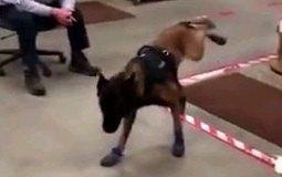 頑張れ!ラバーブーツに挑戦する警察犬