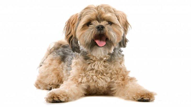 マルシーズーってどんな犬?その性格や特徴