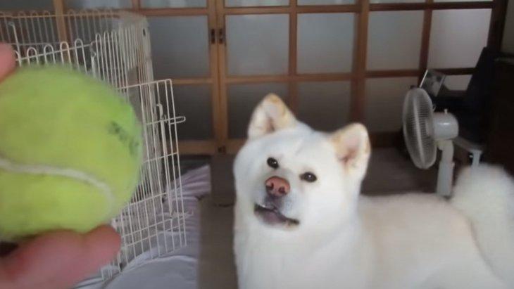 【プロ級】ボール遊びがとっても上手な秋田犬のゆうきくん
