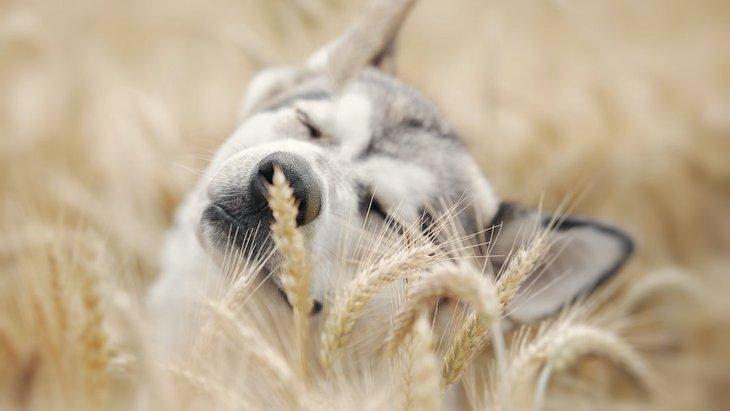 古代の犬は穀類を多く含む食事を摂っていたという研究結果