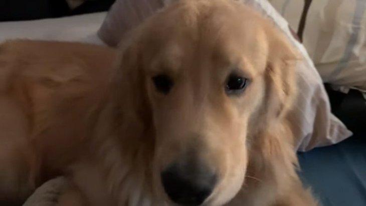 降りないよ!飼い主さんのベッドに居座るゴールデンレトリバーさん
