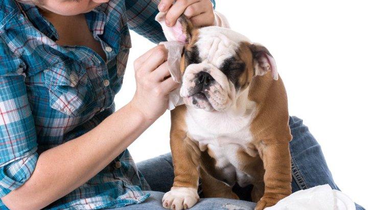 犬の外耳炎の症状と原因、治療法から予防法まで