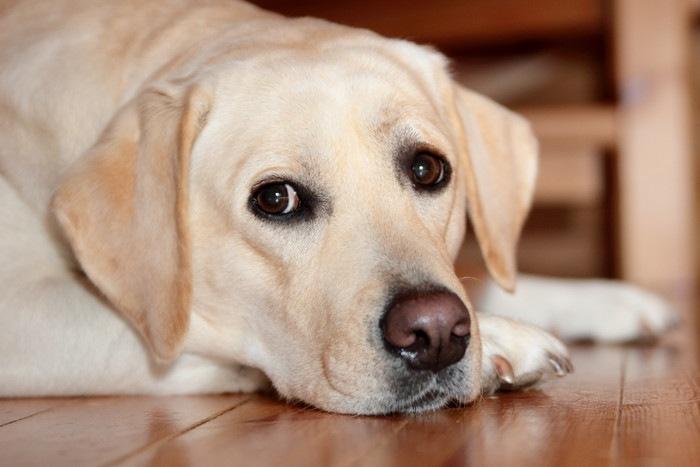 盲導犬の引退 リタイア後も幸せに