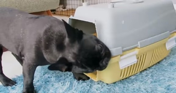 天才犬誕生?!◯◯解体を得意とするフレブルちゃん♪