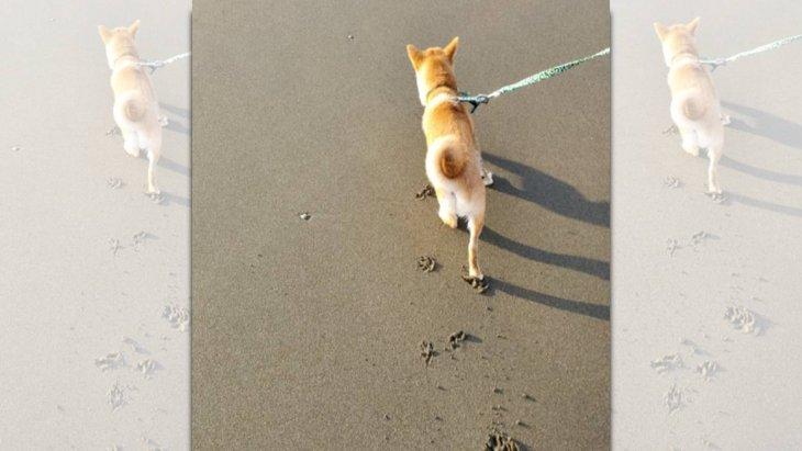 砂浜に刻まれる足跡にキュン♡豆柴さんの肉球スタンプが話題!