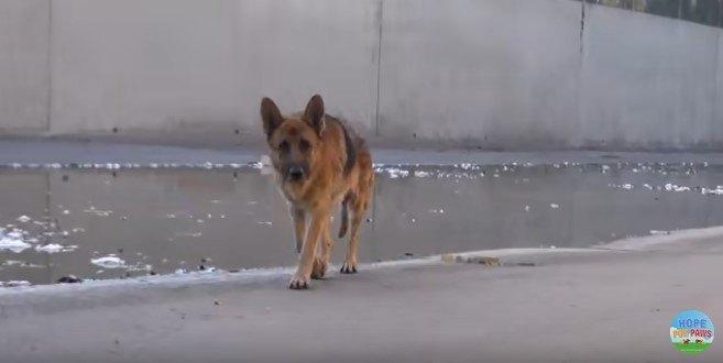 水路に閉じ込められた大型犬に、人を慕う感情がよみがえった!