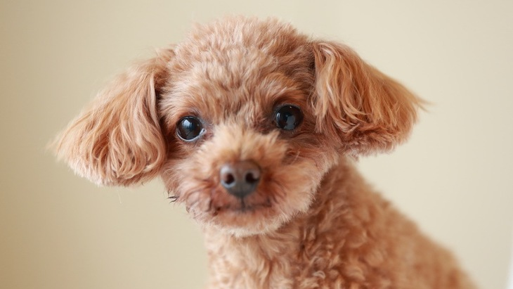 人気の超小型犬4選!性格や飼いやすさは?