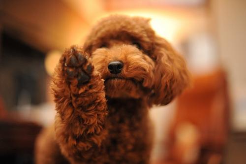 ミニチュアプードルの性格と特徴、大きさや寿命、子犬の値段から歴史まで
