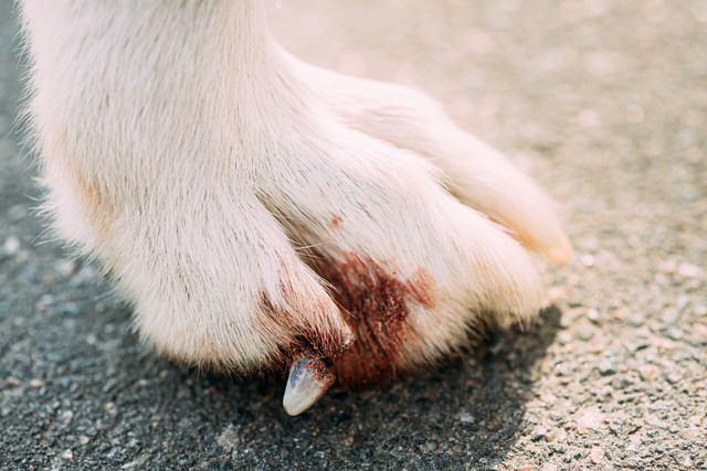 愛犬の爪から出血した!ケース別の対処方法や爪切りのポイントを紹介
