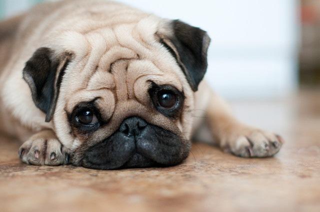 「パグの3匹に1匹が歩行になんらかの異常がある」という研究結果