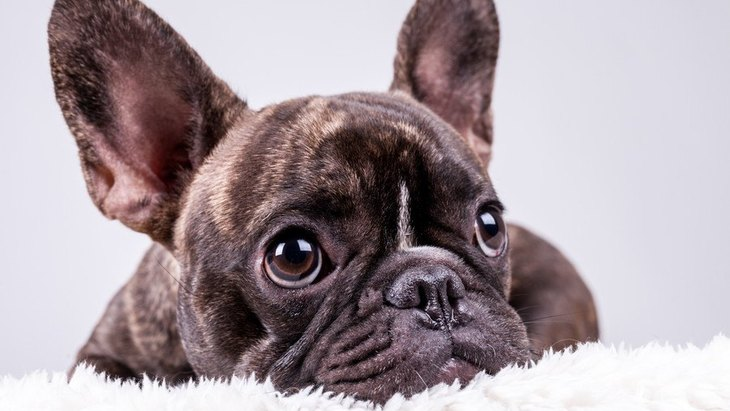 トリミングをする必要がない犬種4選!気を付けるべきポイントまで解説