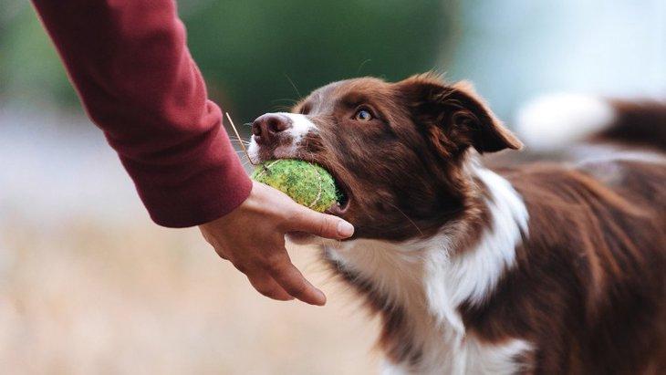 犬がおもちゃを離さない時の心理3選!どうやったら渡してくれるようになるの?